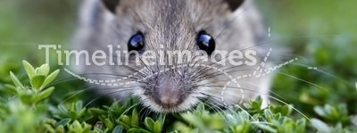 Scared wood mouse