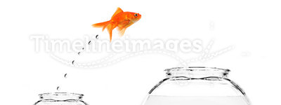 Goldfish jumping from small to bigger bowl