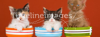 3 La Perm kittens in colorful pots