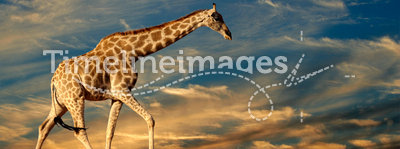 Giraffe on sand dune