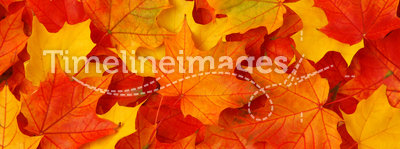 Fall leaves. Red and yellow fall maple leaves