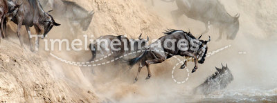 Wildebeest leaping in river