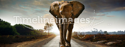 Walking Elephant. Single elephant walking in a road with the Sun from behind