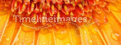 Water drops on orange daisy