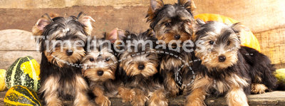 puppies Yorkshire Terrier