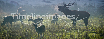 Deer with herd roaring on the meadow