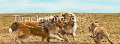 Running collie dogs