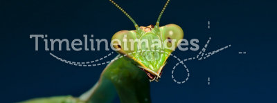 Green praying mantis with blue background