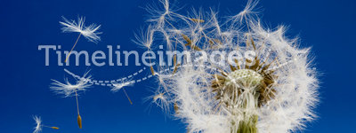 Dandelion. Seeds being blown in the wind
