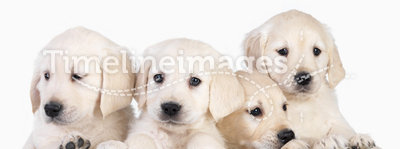 Cute puppies in basket. Isolated