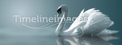 Swan Reflections. A swan