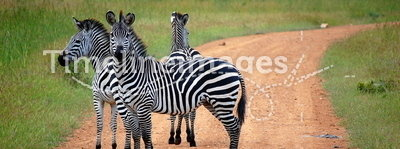 Zebra crossing in safari