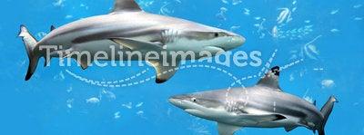 Blacktip Reef Sharks Swimming in Tropical Waters. Over coral reef