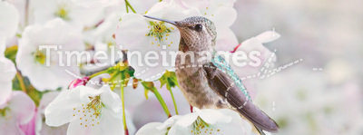 Cherry Blossoms and Hummingbird. This is a soft image of a female Anna's Hummingbird enjoying the late afternoon sun in a blossoming cherry tree