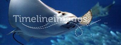 Manta ray seeming to fly underwater