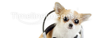Large-eyed chihuahua with headphones isolated