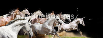 Purebred horses herd on black