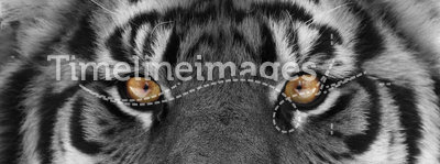 Tiger head. Close up shoot of tiger head