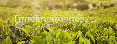 Scenic of tea farm
