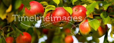 Apple tree. With red apples
