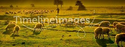 Grazing sheep. A flock of grazing sheep with shepherd