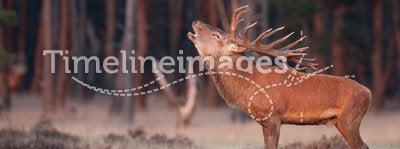 Red Deer grunt