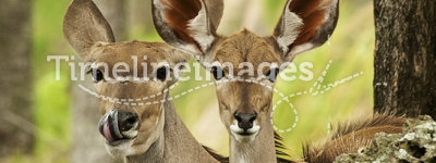 Thompson Gazelles