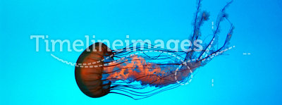 Jelly Fish. Single Jelly Fish in aquarium with aqua and teal water