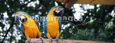 Parrot of Costa Rica