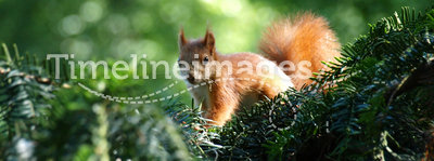 Small squirrel