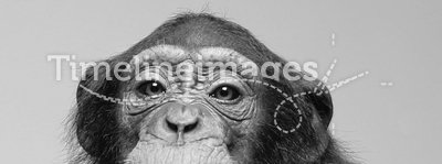 Chimpanzee studio portrait