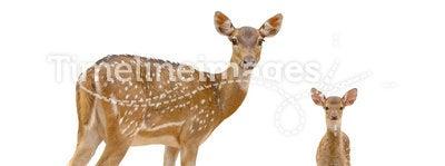Axis deer. In chiang mai night safari
