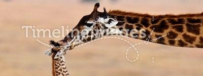Mom giraffe kiss her baby