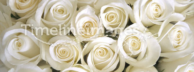 White Roses background. Silky white roses as a background depicting love and purity