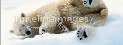 Ice bear. Polar bear lying on the ice of the Svalbard archipelago
