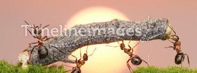 Team of ants work constructing bridge, teamwork