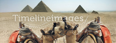 Camels and pyramid in Egypt