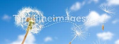 Dandelion seeds in wind flying into sky