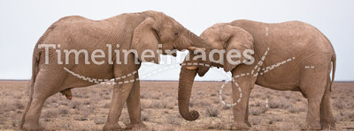 Elephants in love. Wild Elephants in love, Safari Etosha, Namibia Africa