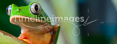 Tree frog in brazil tropical amazon rain forest. Beautiful night animal and endangered amphibian green frog phylomedusa tomopterna jungle treefrog with bright