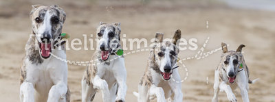 Running dogs. Whippet dogs running on beach - composite of the same dog