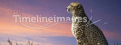 African safari image of cheetah on savannah