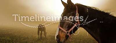 Horse in the mist. Two horses relaxing in the mist