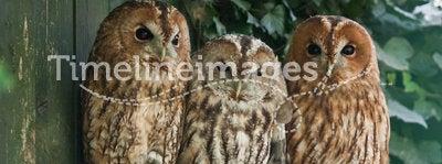 Tawny Owls. Three Tawny Owls (Strix aluco) on branch