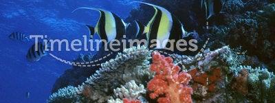 Moorish Idol Reef