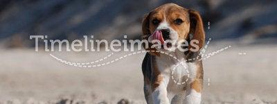 Beagle puppy. On the beach