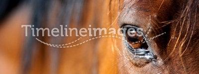 Eye of horse