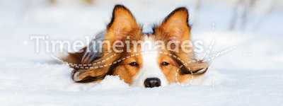 Border collie young dog on the snow