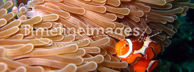 Western Clown-anemonefish