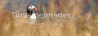 Cute puffin bird